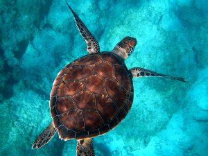 Image of a sea turtle swimming